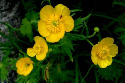 黄色い花の予習して東北の夏山へゴー!
